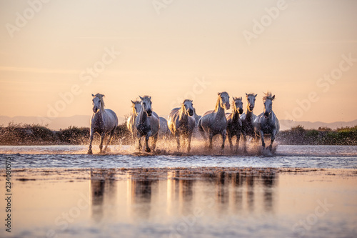 Autocollant pour porte Chevaux White Wild Horses of Camargue running on water at sunset, Aigue Mortes, France