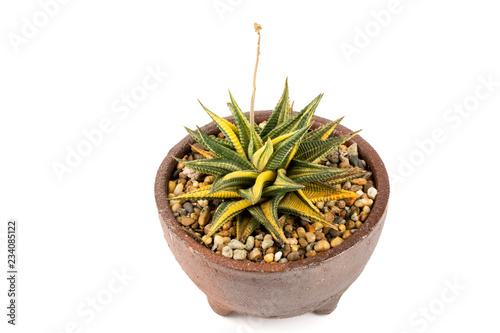 Macro Shot Of Haworthia Limifolia Variegata Is A Succulents Cactus Plant In Ceramic Pot Isolated