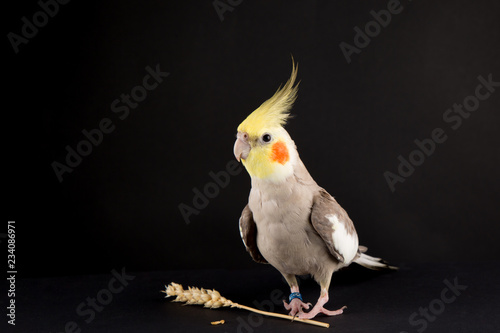 Valokuva  Funny memes, Parrot protecting food, Cute Cinnamon Cockatiel protecting food