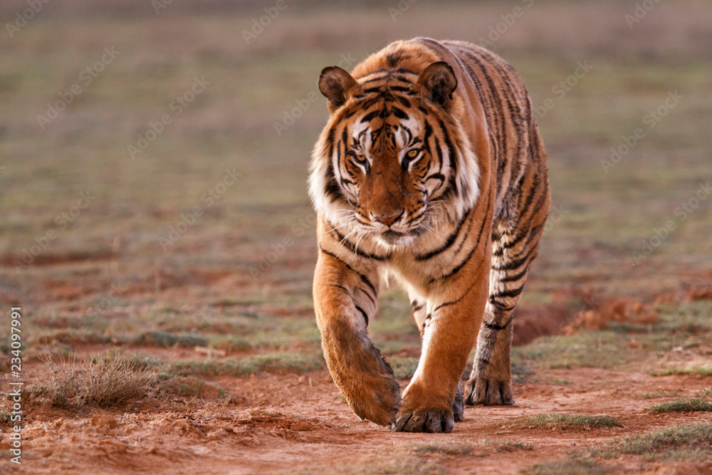 Dominant male Tiger walking in Tiger Canyons Game Reserve at sundown in South Africa