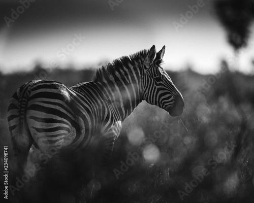 Tuinposter Zebra Zèbre noir et blanc