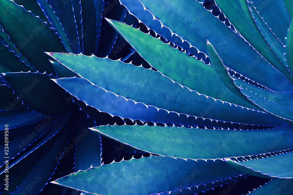 Fototapety, obrazy: Spiky Leaves of Agave Plant in Blue Tone Color