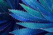 Leinwandbild Motiv Spiky Leaves of Agave Plant in Blue Tone Color