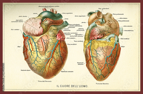Fototapeta Vintage color table of anatomy, human heart with  anatomical descriptions in ita