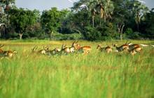 Lechwe (Kobus Leche), Okavango...