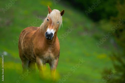 Cavallo al pascolo su prato verde, sguardo