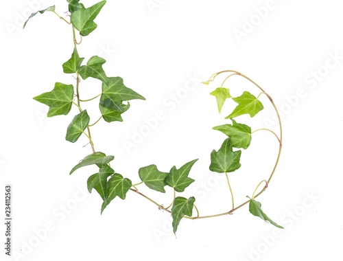 Fotografia ivy leaves isolated on a white background