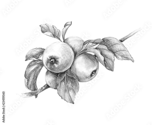 Valokuva Apple Branch  Pencil Drawing