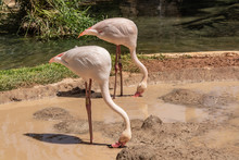 Pink Flamingos Are Looking For Food In The Pond