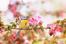 Little Bird Tit Sitting On An Apple Tree Branch With Bright Pink Flowers In Spring Garden