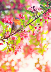 Fototapeta Ptaki bird Robin sitting on a branch of a flowering pink Apple tree in the spring garden of may