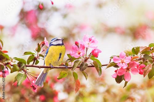 Fototapeta premium mały ptak sikora siedzi na gałęzi drzewa jabłoni z jasne różowe kwiaty w ogrodzie wiosną