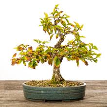 Ulme Korkrindenulme (Ulmus Zelkova) Als Bonsai Baum