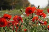 Fototapeta Kwiaty - maki dzikie ,polne kwiaty ,dzikie kwiaty ,maki jesienią ,maki i makówki