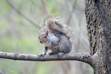 Central Eastern Gray Squirrel ...