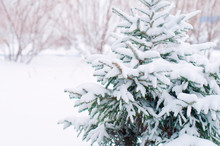 Winter Forest, Christmas Tree In The Snow, Spruce Against The Backdrop Of The Forest, Nature. Winter Concept
