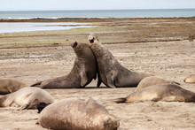 Sea Lion Males In A Territorial Fight