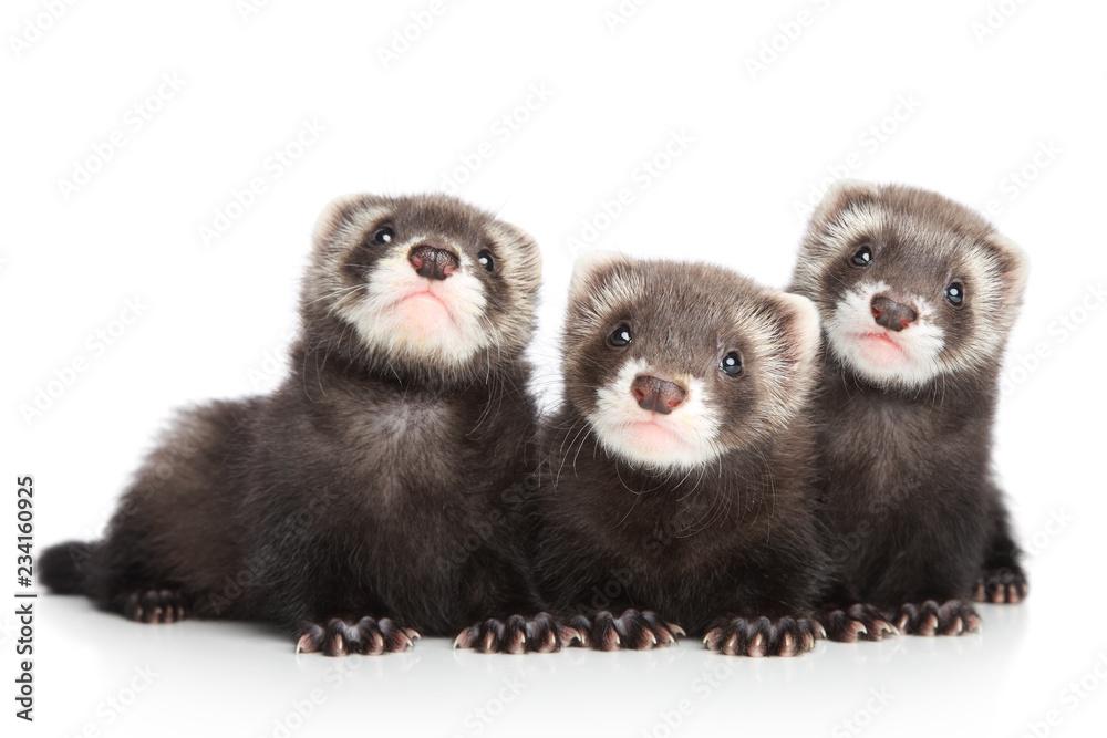 Valokuva  Three polecat puppy posing on white background