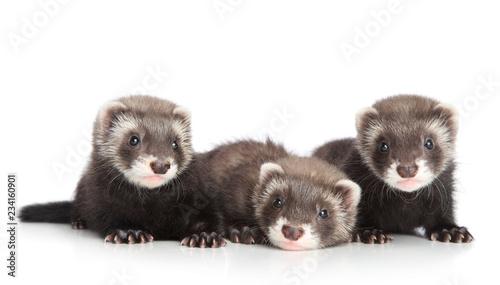 Valokuvatapetti Group of Ferret puppies on white background