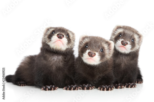 Fényképezés  Three polecat puppy posing on white background