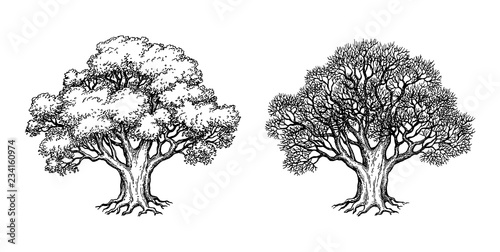 Ink sketch of oak tree. Fototapet