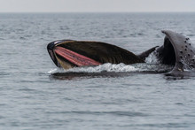 Humpback Whale With Mouth Open Feeding On Ocean Surface British Columbia Canada