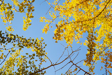 Lines Of Gingko Trees In Hibar...
