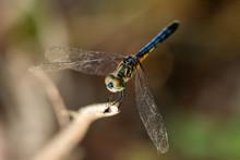 Blue Dasher Dragonfly (Pachydiplax Longipennis) - Davie, Florida, USA
