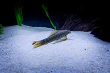 Gyrinocheilus Aymonieri Fish