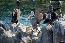 Pelicans Sitting On Rocks In Monterey California