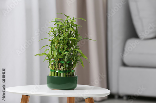 Pot with green bamboo on table in living room. Space for text