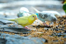 Colorful Canaries Are Eating Breakfast On The Ground Full Of Rice. This Birds Lives In The Forest And Is Domesticated To Domestic Animals