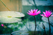 Beautiful nature pink waterlily flower or lotus flower and lotus plant, lotus leaf on water surface in pond, lake.