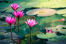 Beautiful Nature Pink Waterlily Flower Or Lotus Flower And Lotus Plant, Lotus Leaf On Water Surface In Pond, Lake.