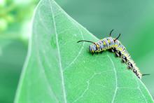Monarch Butterfly Caterpillar On Leaf
