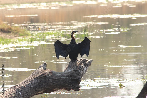 African darter in Africa - Buy this stock photo and explore