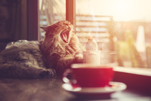 Lazy Cat Yawning With Morning Sunshine From Windows With Coffee Cup Vintage Beautiful Pet.