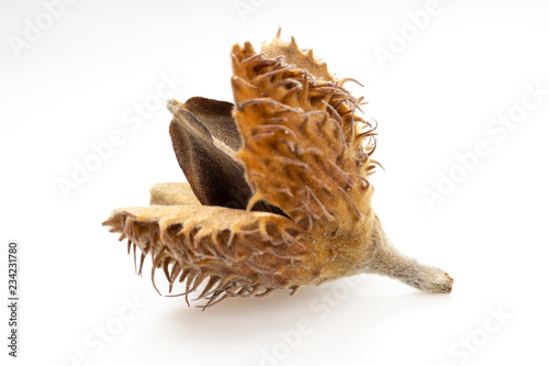 Photo European beech (Fagus sylvatica) mast and nut macro.