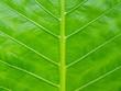 Caladium green leaf texture background.