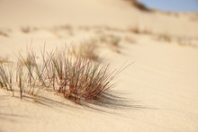 Scanty Desert Vegetation Close-up: Hardly Green Small Tufts Of Grass