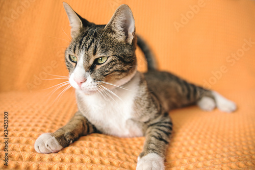 A cute cat is posing at home. A cat portrait close-up.
