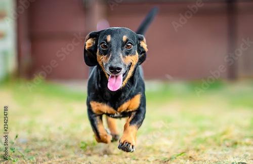 Leinwand Poster  Happy black and brown dachshund running