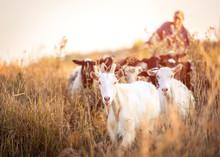 Shepherd Leads The Goats On Sunshine Evening Field