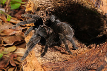 Schwarze Vogelspinne Aus Mexiko (Aphonopelma Caniceps) Black Tarantula From Mexico