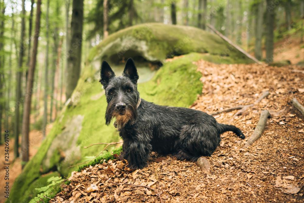 Fototapeta Portrait of a black scottish rerrier in a forest. Dog-walking outdoors.