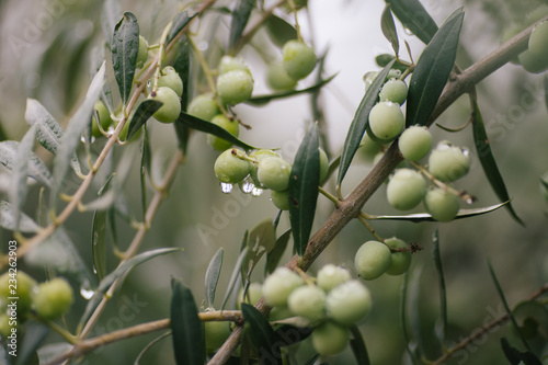 Wall Murals Olives Tree Arbequina
