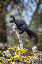 The Red Squirrel Or Eurasian Red Squirrel Or Sciurus Vulgaris Is Sitting On The Peak Of The Branch. Nice Colorful Background Wit Some Trees And Some Plants In The Foreground. Czech Republic