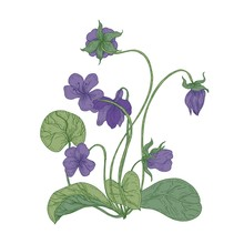 Gorgeous Wood Violet Flowers Isolated On White Background. Natural Drawing Of Wild Herbaceous Flowering Perennial Plant Used In Herbal Medicine. Colorful Floral Realistic Vector Illustration.