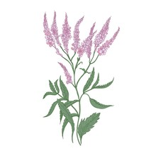 Common Verbena Flowers Isolated On White Background. Detailed Drawing Of Wild Perennial Flowering Herb Used As Medicinal Plant In Herbalism. Realistic Hand Drawn Vector Illustration In Antique Style.