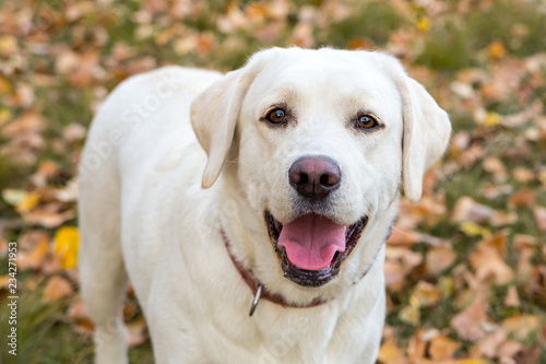 yellow labrador in the park in autumn Canvas Print